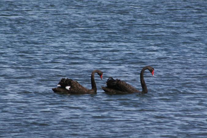 Black_Swan-Cisne_Negro-St_Helens-Tasmania